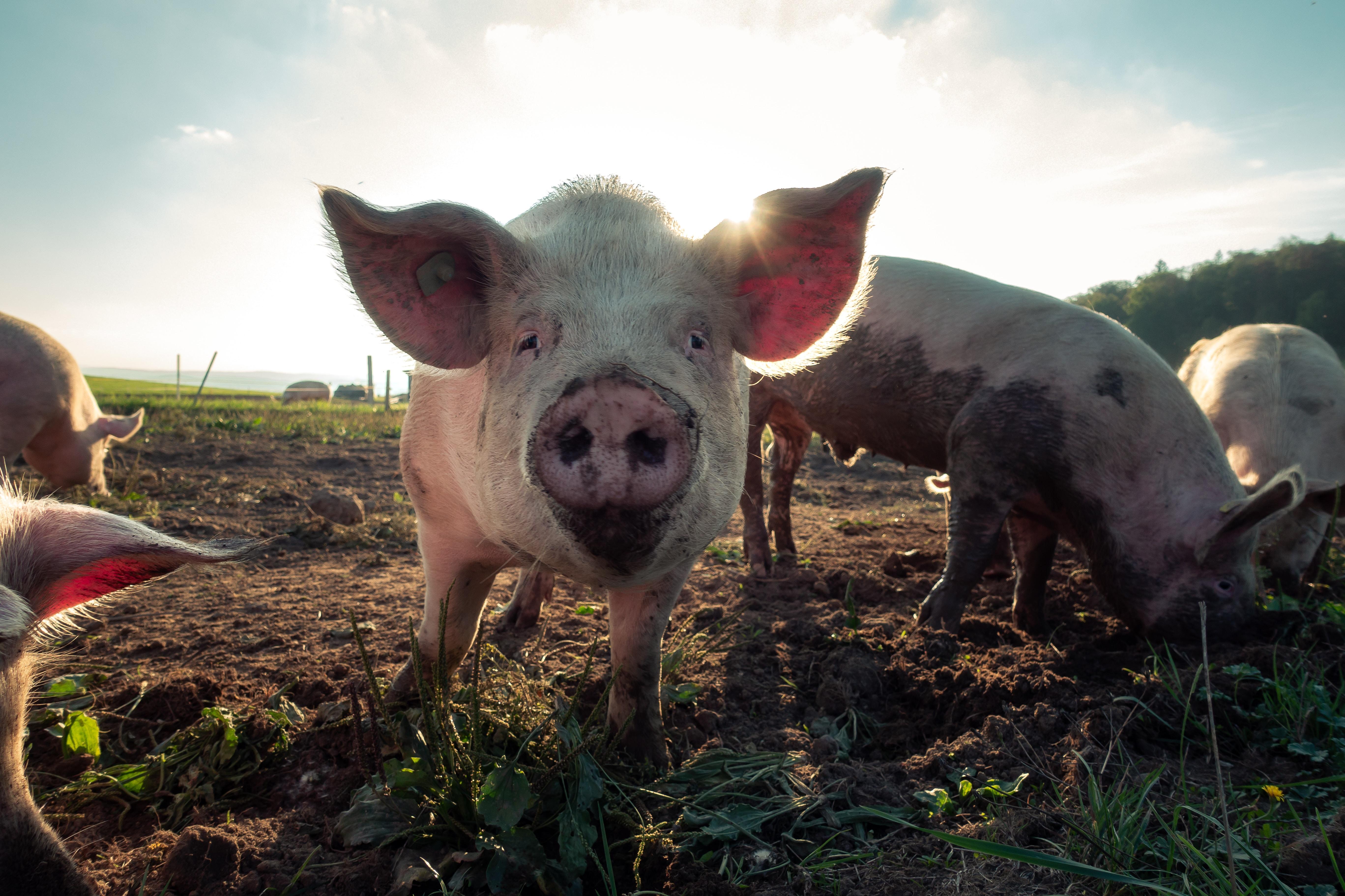 Männer sind Schweine? - 10 Gründe warum Männer Schweine sind und 10 Gründe warum nicht